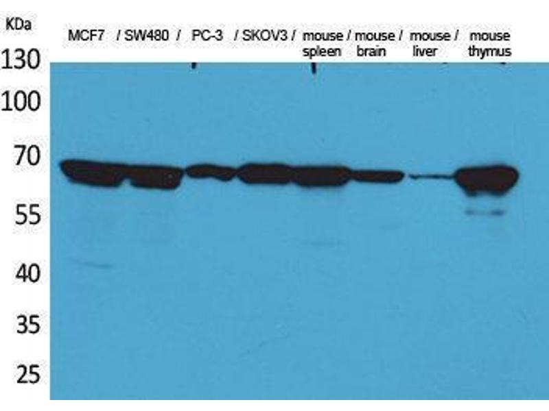 Western Blotting (WB) image for anti-Lamin B1 (LMNB1) (Internal Region) antibody (ABIN3187719)