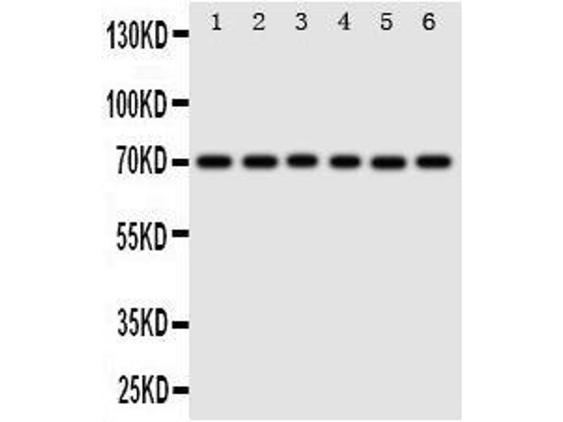 Western Blotting (WB) image for anti-Splicing Factor 1 (SF1) (AA 11-30), (N-Term) antibody (ABIN3044091)