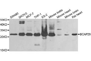 Image no. 1 for anti-B-Cell Receptor-Associated Protein 29 (BCAP29) antibody (ABIN6137475)