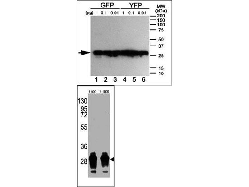 Western Blotting (WB) image for anti-Green Fluorescent Protein (GFP) antibody (ABIN356346)