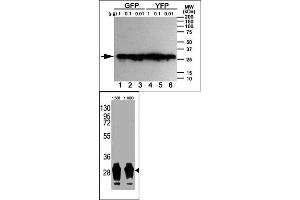 Western Blotting (WB) image for anti-GFP antibody (Green Fluorescent Protein) (ABIN356346)