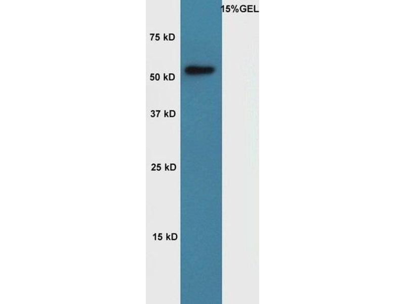 Western Blotting (WB) image for anti-Cyclin A1 antibody (CCNA1) (AA 250-300) (ABIN714026)