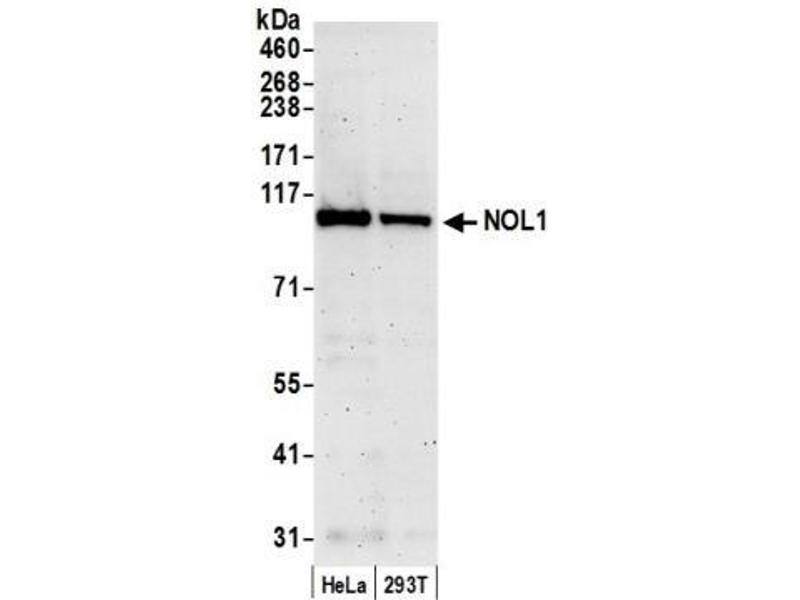 Western Blotting (WB) image for anti-Nucleolar Protein 1 (NOL1) (AA 762-812) antibody (ABIN438743)