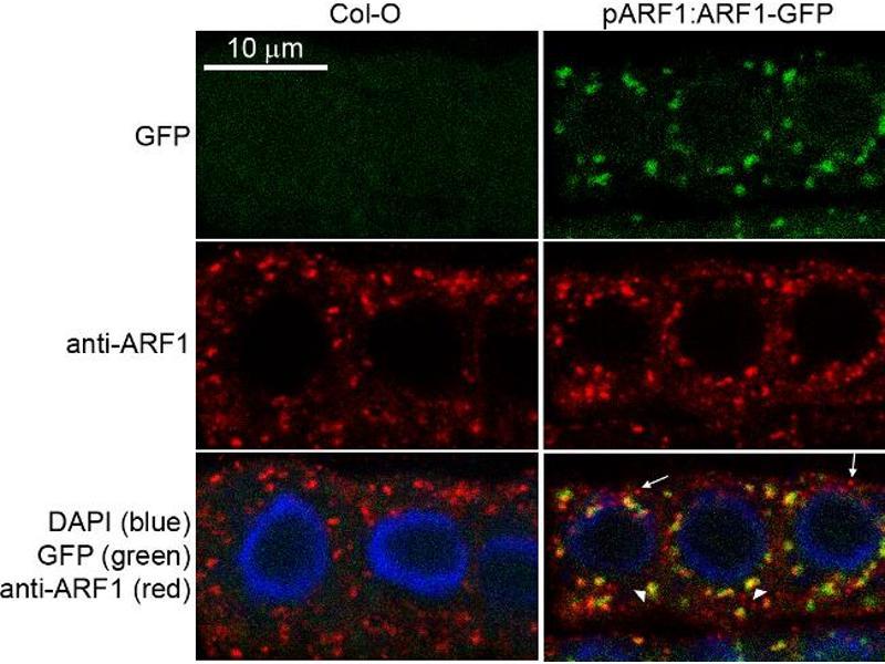 image for anti-ADP-Ribosylation Factor 1 (ARF1) antibody (ABIN2688655)