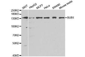 Image no. 2 for anti-Budding Uninhibited By Benzimidazoles 1 Homolog (Yeast) (BUB1) antibody (ABIN3022669)