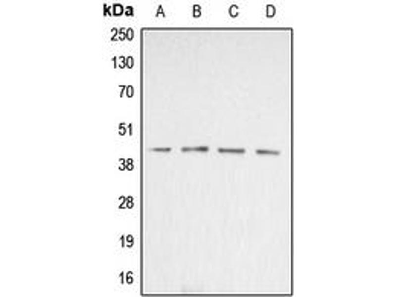 Image no. 2 for anti-Actin, beta (ACTB) (N-Term) antibody (ABIN2707361)