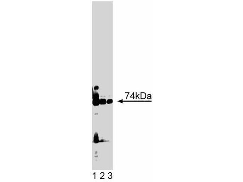 Western Blotting (WB) image for anti-PKC iota antibody (Protein Kinase C, iota) (AA 397-558) (ABIN967825)