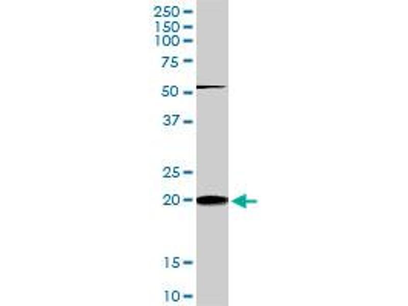 Western Blotting (WB) image for anti-RHOC antibody (Ras Homolog Gene Family, Member C) (AA 1-193) (ABIN513475)