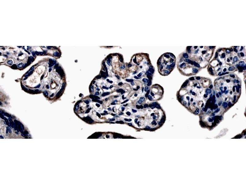 Immunohistochemistry (IHC) image for anti-Fms-Related Tyrosine Kinase 4 (FLT4) (N-Term) antibody (ABIN258821)