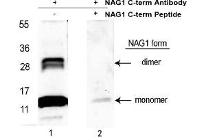image for anti-Growth Differentiation Factor 15 (GDF15) (C-Term) antibody (ABIN453961)