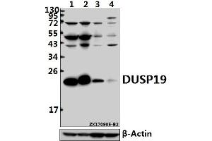 Image no. 1 for anti-Dual Specificity Phosphatase 19 (DUSP19) (AA 100-150) antibody (ABIN6712645)