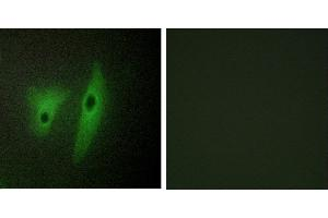Image no. 1 for anti-Dual Specificity Phosphatase 19 (DUSP19) antibody (ABIN1576135)
