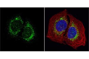 Image no. 5 for anti-Hypoxia Up Regulated 1 (HYOU1) (C-Term) antibody (ABIN2855339)
