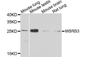 Image no. 1 for anti-Methionine Sulfoxide Reductase B3 (MSRB3) antibody (ABIN6144093)