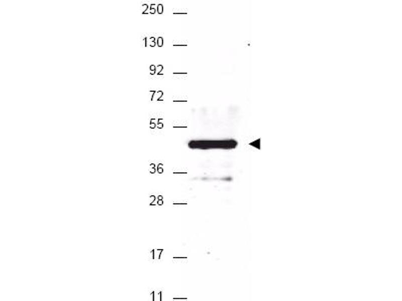 Image no. 1 for anti-HA-Tag antibody (ABIN401240)