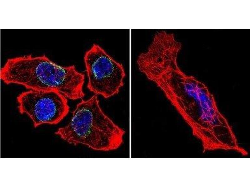 Immunofluorescence (IF) image for anti-Lamin A/C (LMNA) antibody (ABIN261550)