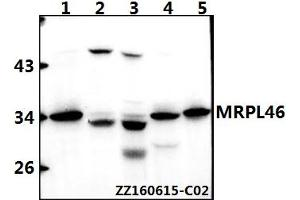 Image no. 1 for anti-Mitochondrial Ribosomal Protein L46 (MRPL46) (AA 114-158) antibody (ABIN6711139)