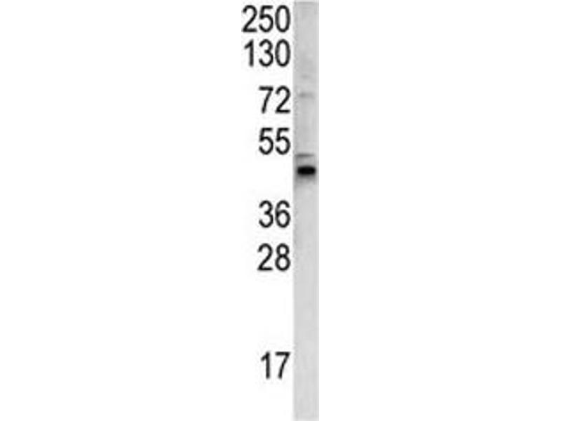 Western Blotting (WB) image for anti-Wingless-Type MMTV Integration Site Family, Member 4 (WNT4) (AA 242-269) antibody (ABIN3029632)
