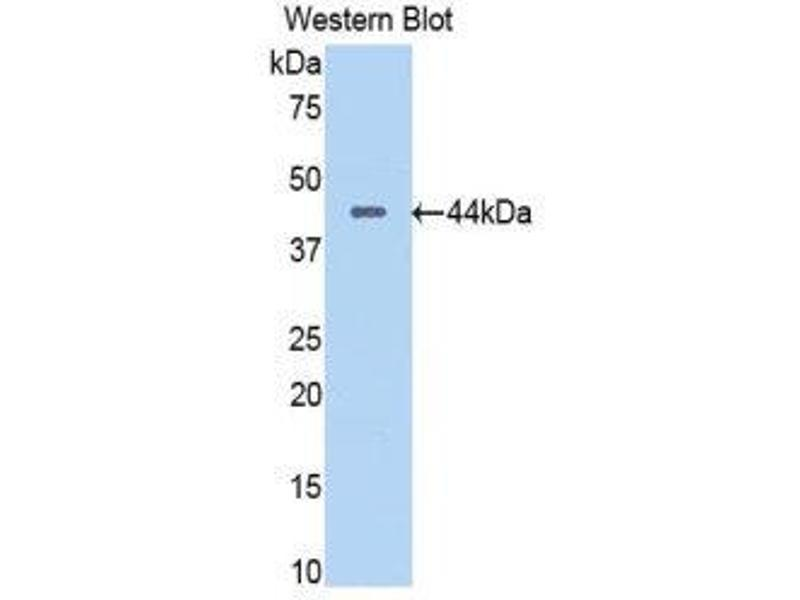 Western Blotting (WB) image for anti-Pancreas Specific Transcription Factor, 1a (PTF1A) (AA 177-328) antibody (ABIN1860348)