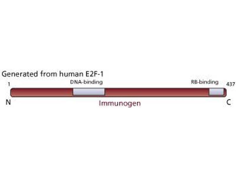 image for anti-E2F1 antibody (E2F Transcription Factor 1) (ABIN967439)