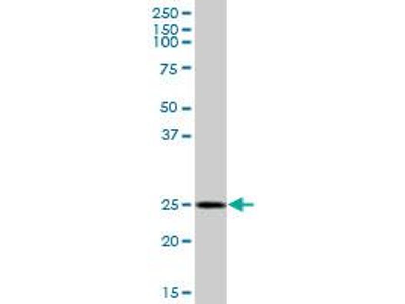 Western Blotting (WB) image for anti-Golgi SNAP Receptor Complex Member 1 (GOSR1) (AA 1-250), (full length) antibody (ABIN523004)