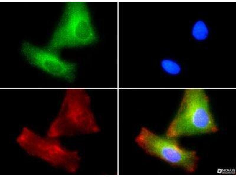 Immunofluorescence (IF) image for anti-PLTP antibody (Phospholipid Transfer Protein) (ABIN152885)