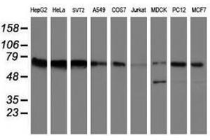 Image no. 14 for anti-Fragile X Mental Retardation 1 (FMR1) (AA 36-279) antibody (ABIN1491454)