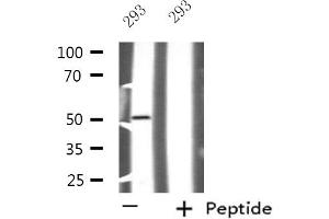 Image no. 1 for anti-Nuclear Transcription Factor Y, gamma (NFYC) antibody (ABIN6257624)