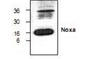 Western Blotting (WB) image for anti-Phorbol-12-Myristate-13-Acetate-Induced Protein 1 (PMAIP1) antibody (ABIN223344)