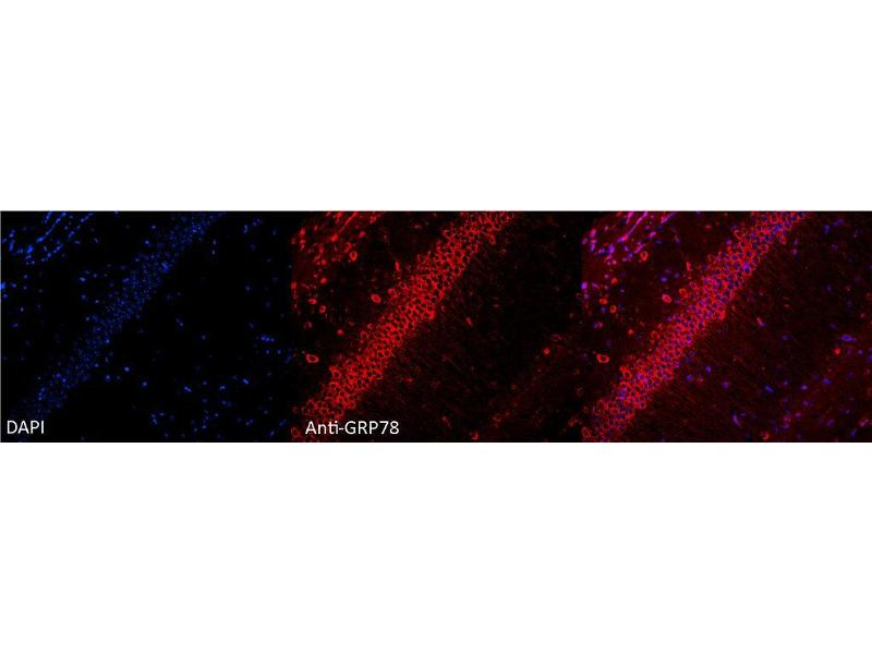 Immunofluorescence (fixed cells) (IF/ICC) image for anti-Heat Shock 70kDa Protein 5 (Glucose-Regulated Protein, 78kDa) (HSPA5) antibody (Atto 680) (ABIN2486754)