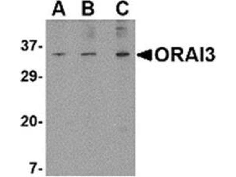 image for anti-ORAI Calcium Release-Activated Calcium Modulator 3 (ORAI3) (N-Term) antibody (ABIN318923)