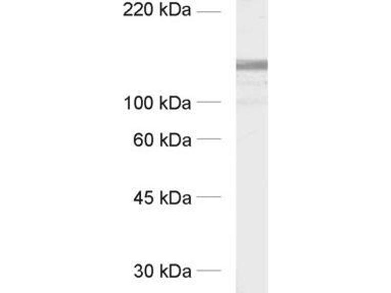 Western Blotting (WB) image for anti-Glutamate Receptor Interacting Protein 1 (GRIP1) (AA 662-769) antibody (ABIN1742326)