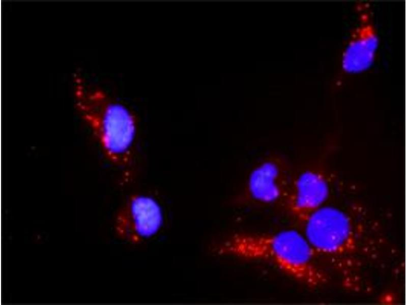 Proximity Ligation Assay (PLA) image for anti-Paxillin (PXN) (AA 1-262) antibody (ABIN519564)