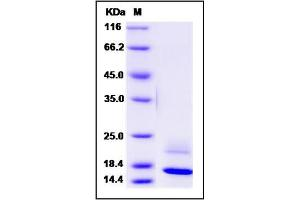 Image no. 1 for Regenerating Islet-Derived Family, Member 4 (REG4) (AA 1-158) protein (His tag) (ABIN2004056)