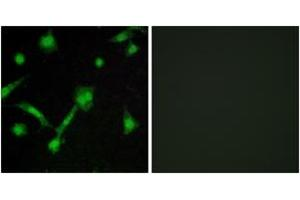 Immunofluorescence (IF) image for anti-NFKBIA antibody (Nuclear Factor of kappa Light Polypeptide Gene Enhancer in B-Cells Inhibitor, alpha) (pSer32) (ABIN1531880)