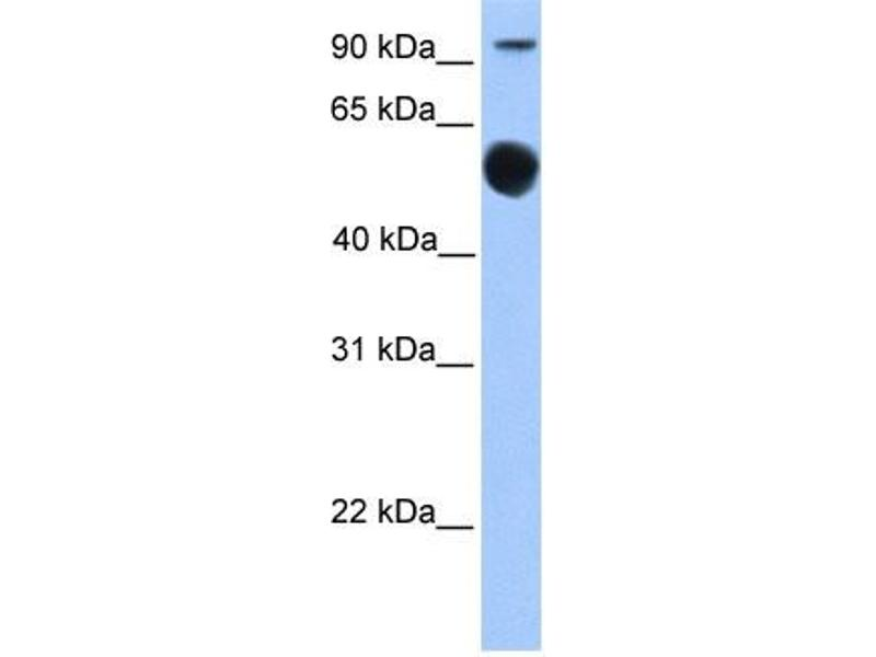 Western Blotting (WB) image for anti-Early B-Cell Factor 1 (EBF1) (N-Term) antibody (ABIN2777379)