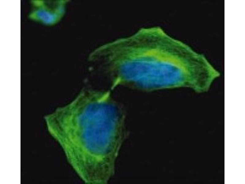 Immunofluorescence (IF) image for anti-Tubulin, beta 2A (TUBB2A) antibody (ABIN265863)