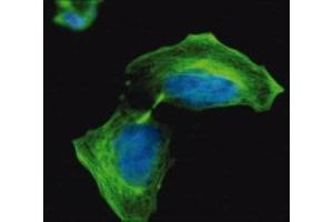 Immunofluorescence (IF) image for anti-TUBB2A antibody (Tubulin, beta 2A) (ABIN265863)