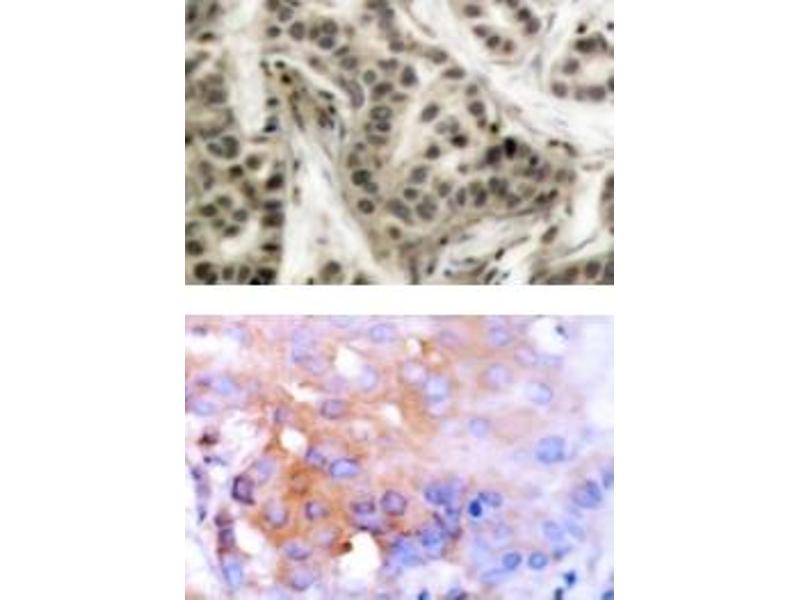 image for anti-Nuclear Factor of kappa Light Polypeptide Gene Enhancer in B-Cells 1 (NFKB1) (pSer337) antibody (ABIN318079)