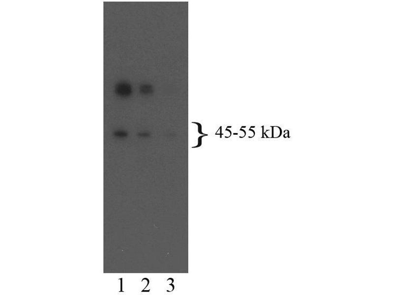 Western Blotting (WB) image for anti-HTR2B antibody (5-Hydroxytryptamine (serotonin) Receptor 2B) (AA 1-58) (ABIN967504)