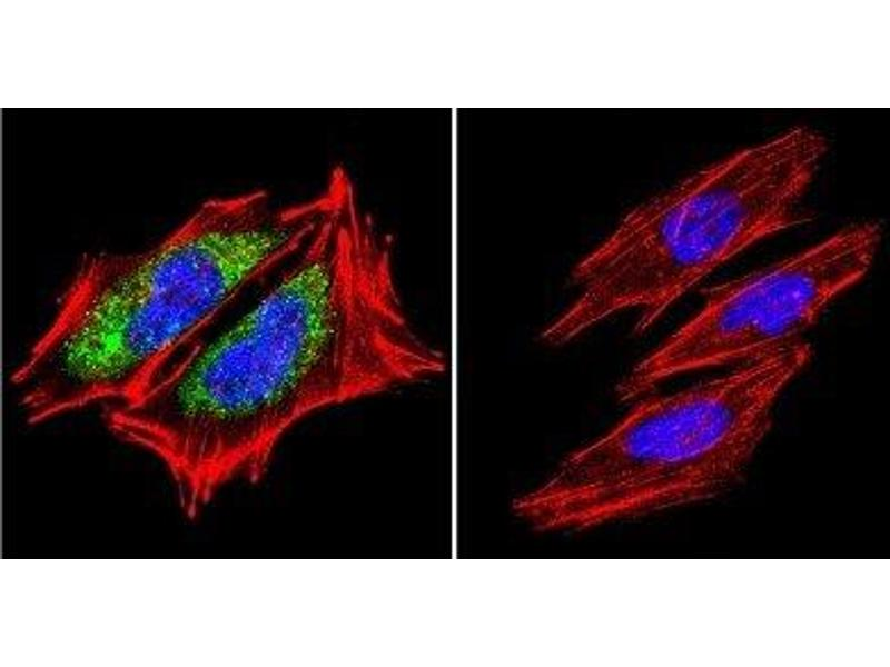 Immunofluorescence (IF) image for anti-Heat Shock 60kDa Protein 1 (Chaperonin) (HSPD1) antibody (ABIN4320164)