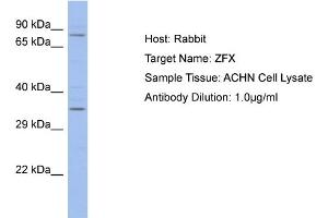 Image no. 1 for anti-Zinc Finger Protein, X-Linked (ZFX) (C-Term) antibody (ABIN2780507)