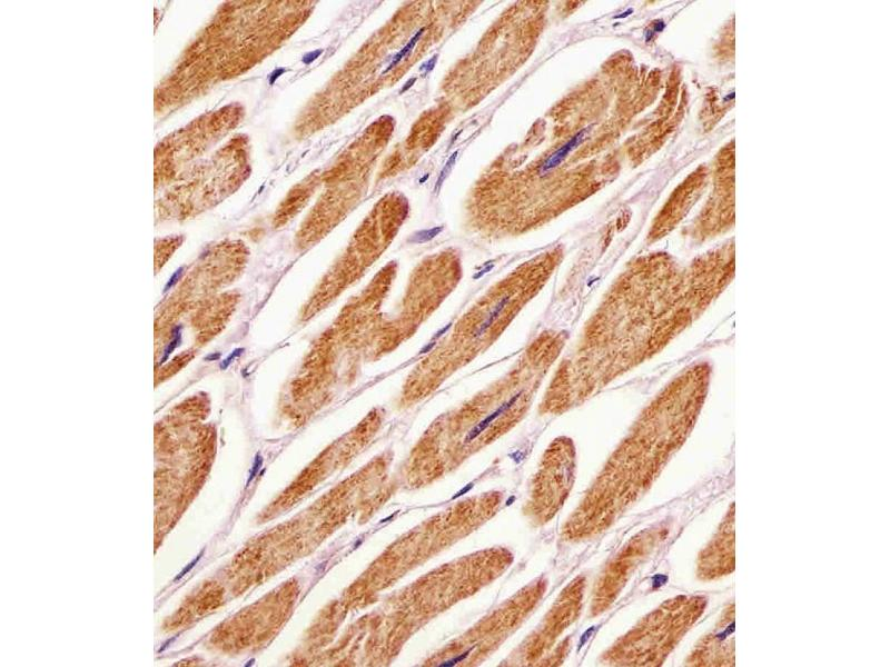Immunohistochemistry (Paraffin-embedded Sections) (IHC (p)) image for anti-Pyruvate Dehydrogenase Kinase, Isozyme 4 (PDK4) (AA 382-410), (C-Term) antibody (ABIN391039)
