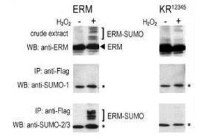 anti-SMT3 Suppressor of Mif Two 3 Homolog 2/3 (SUMO2/3) (AA 49-81), (C-Term) antibody (2)