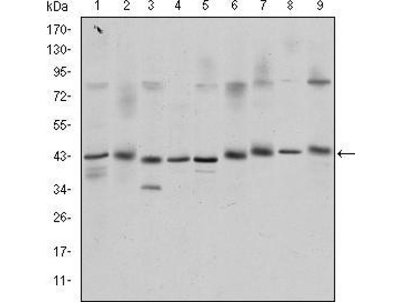 Western Blotting (WB) image for anti-CREB1 antibody (CAMP Responsive Element Binding Protein 1) (ABIN969061)