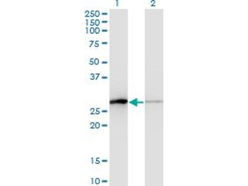 Image no. 2 for anti-Transcription Elongation Factor A (SII)-Like 1 (TCEAL1) (AA 1-159) antibody (ABIN522796)