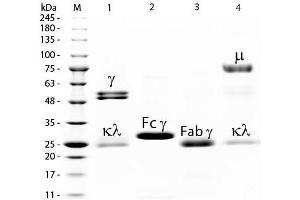 SDS-PAGE (SDS) image for Rat IgM isotype control (ABIN964493)