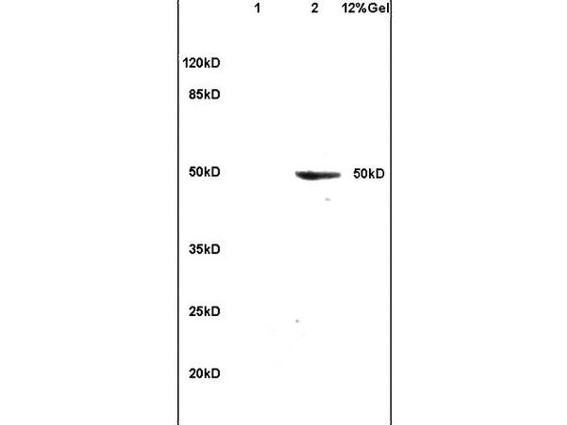 SDS-PAGE (SDS) image for anti-Clusterin (CLU) (AA 433-442) antibody (ABIN685342)