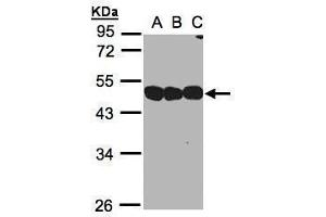 Image no. 4 for anti-NSFL1 (p97) Cofactor (p47) (NSFL1C) (Center) antibody (ABIN2856019)