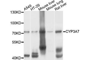 Image no. 1 for anti-Cytochrome P450, Family 3, Subfamily A, Polypeptide 7 (CYP3A7) antibody (ABIN6566747)